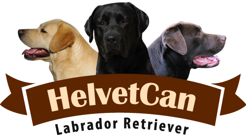 Helvet Can | Labrador Retriever