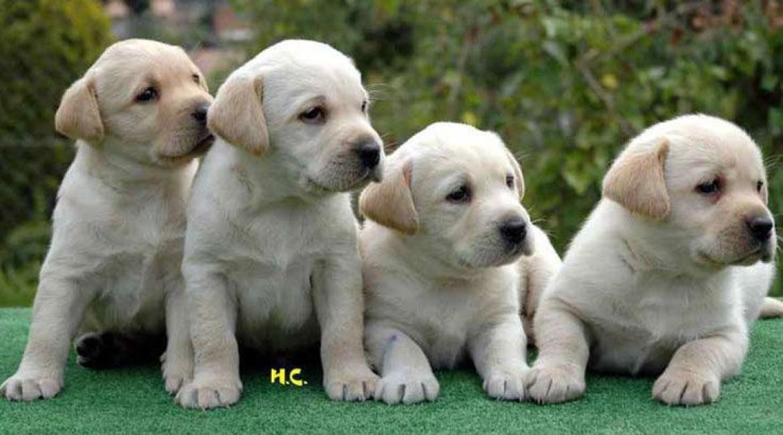 how to choose a puppy labrador retriever part i